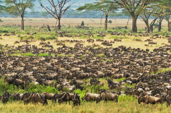 wildebeest-calving-in-serengeti