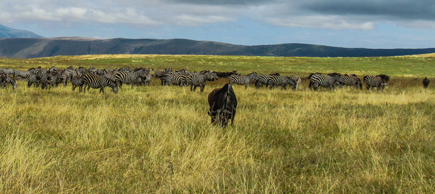 wildebeest-migration-safari